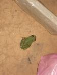 Tree frog friend